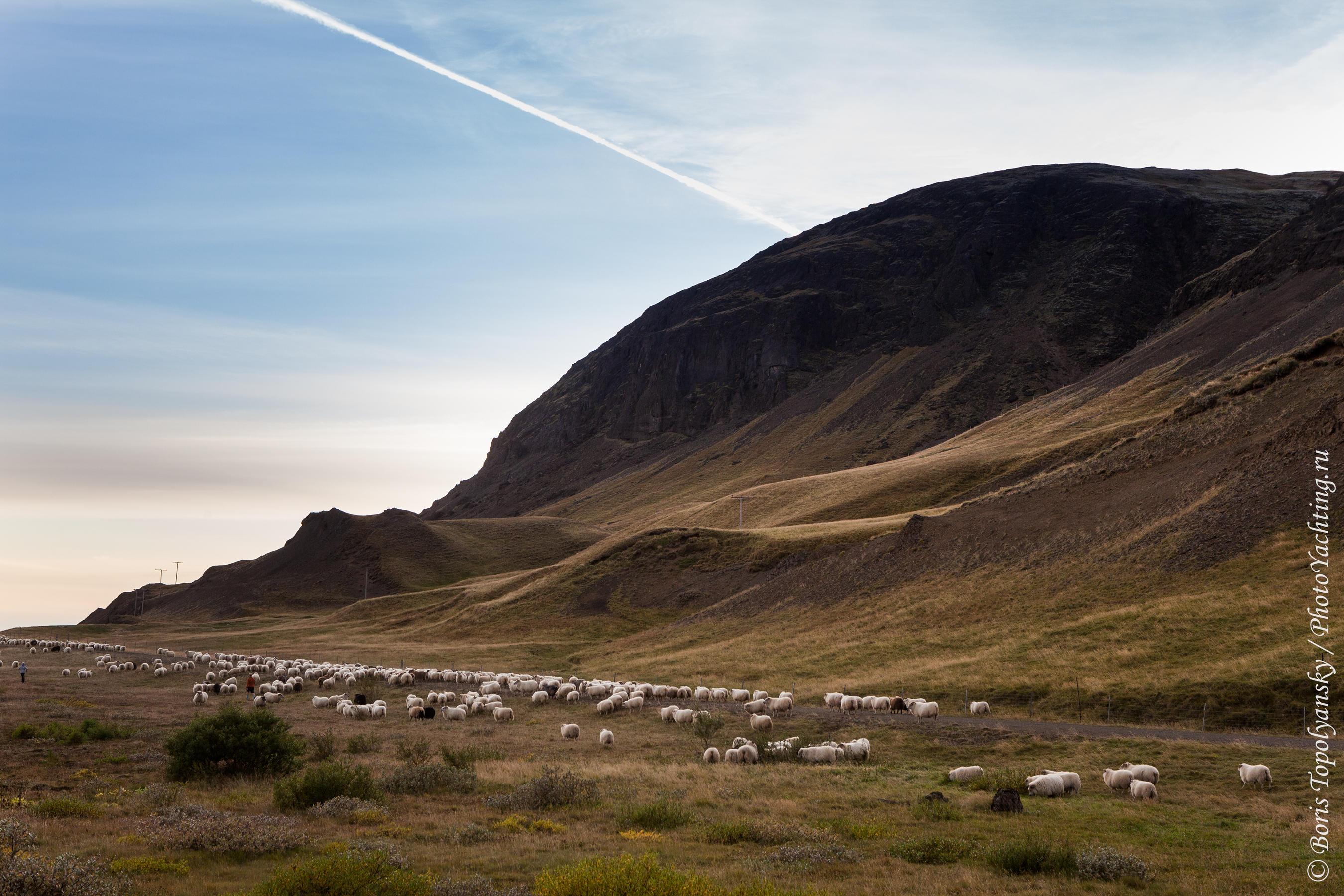 Овцы, Исландия