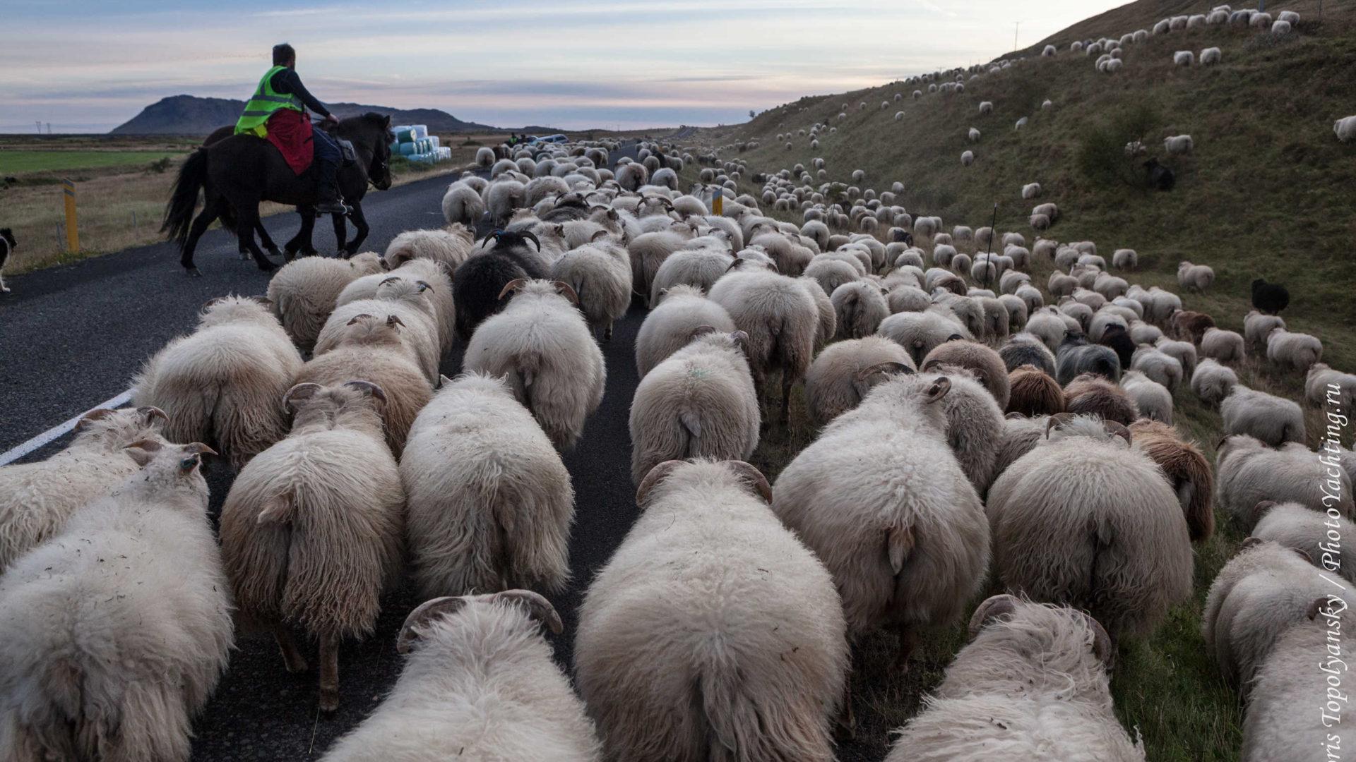Овец в Исландии считают