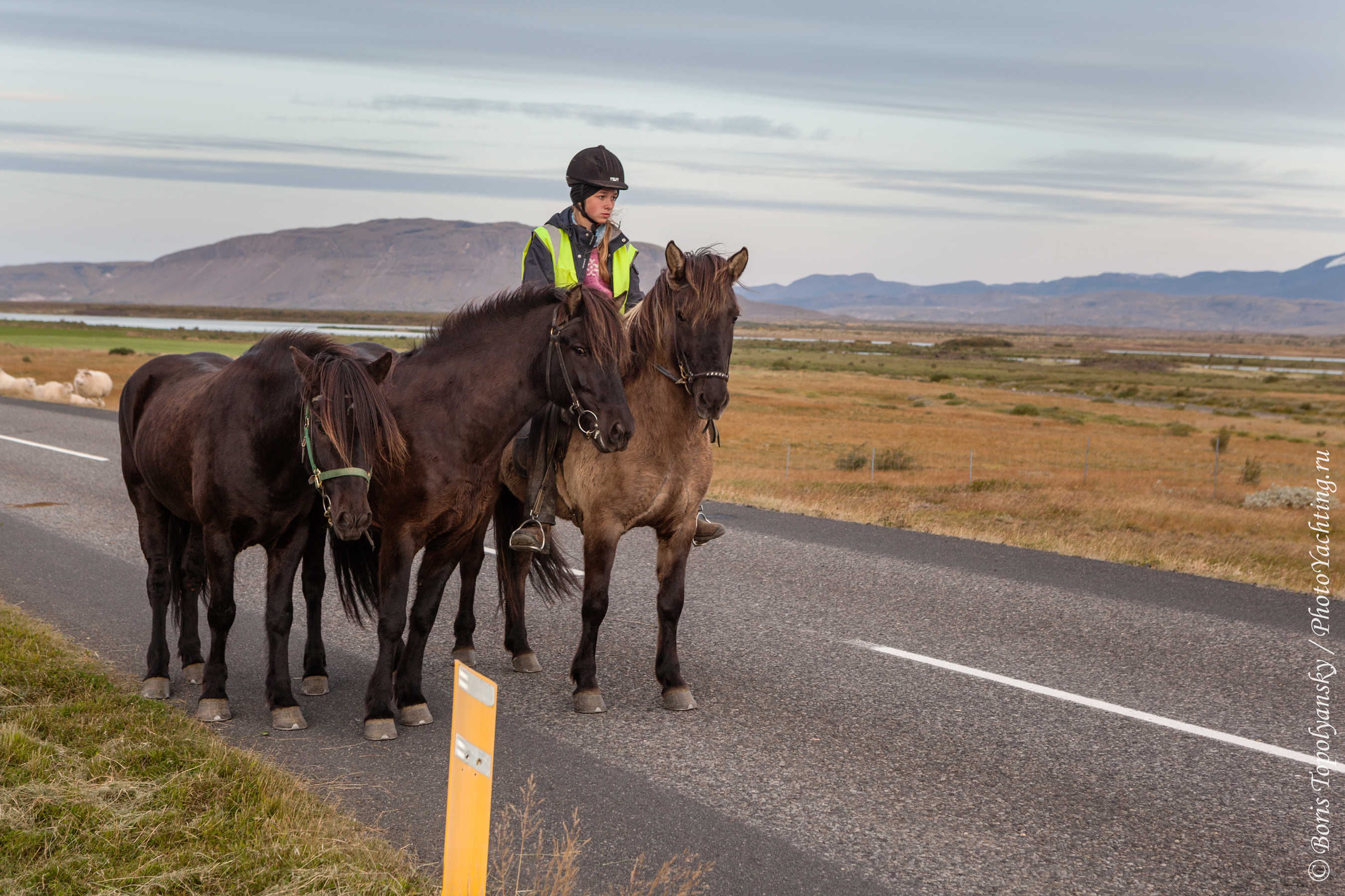 Перегон овец в Исландии